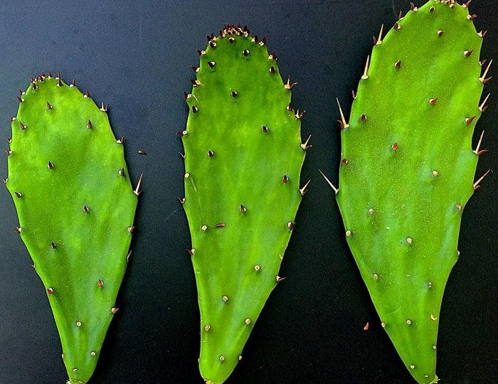 Nopal Cactus (aka Prickly Pear Cactus)