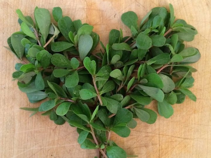 Foraging for Purslane