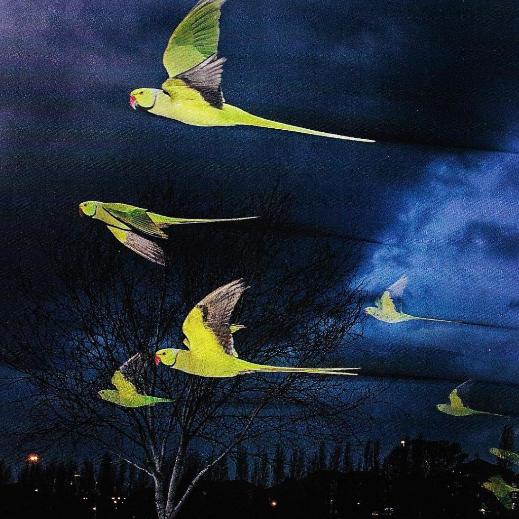 Happy Halloween week! Spooky looking roseringed parakeets flap to ahellip