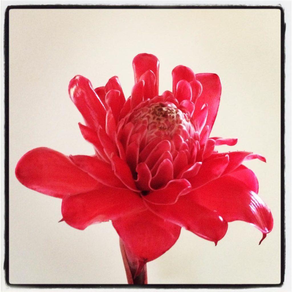 Sending this Etlingera elatior flower to Shailene Woodley and allhellip