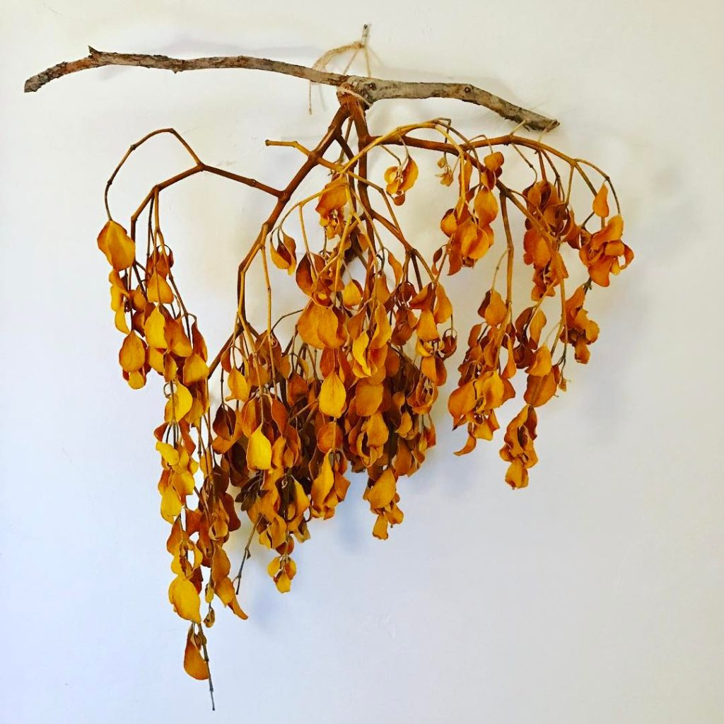 Mistletoe Behind my desk Found in the desert Southwest wherehellip