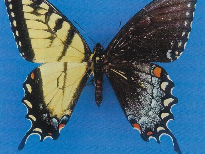 Gynandromorphic Swallowtail