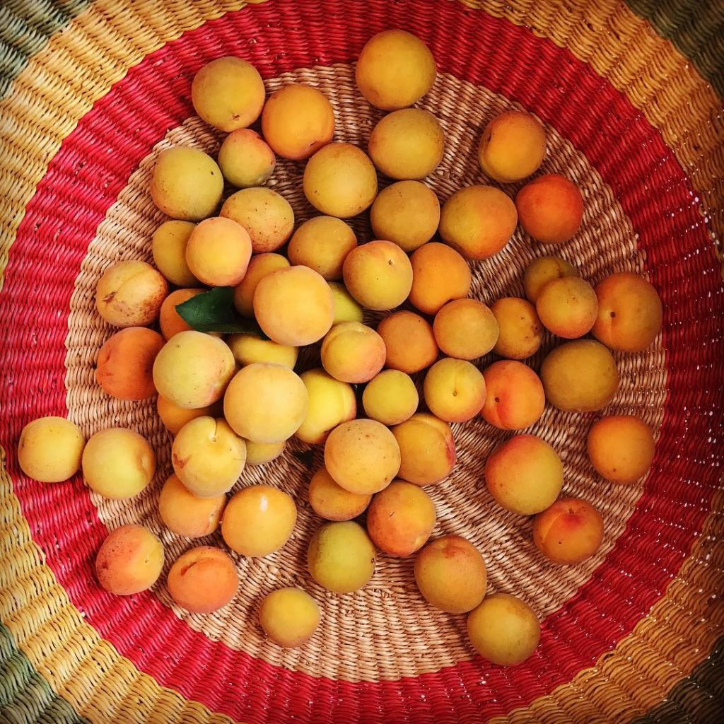 Basket of Blenheims The short season of delicious apricots arehellip