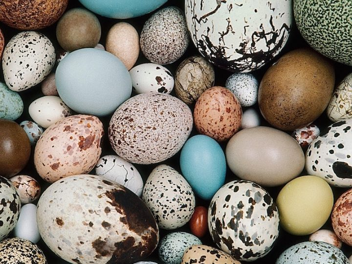 Cracking the Code on Egg Coloration