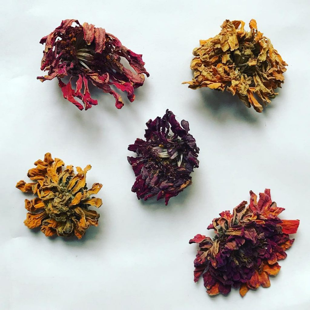 Dried zinnias Petals for Max the outdoor composter Seeds forhellip