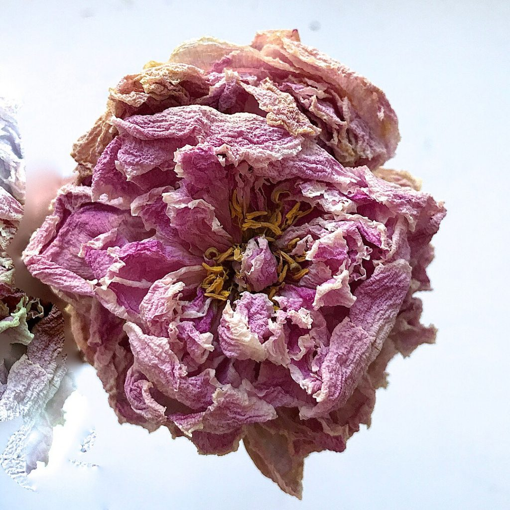 Faded Beauty Arent dried peonies stunning? Love dried hydrangeas toohellip