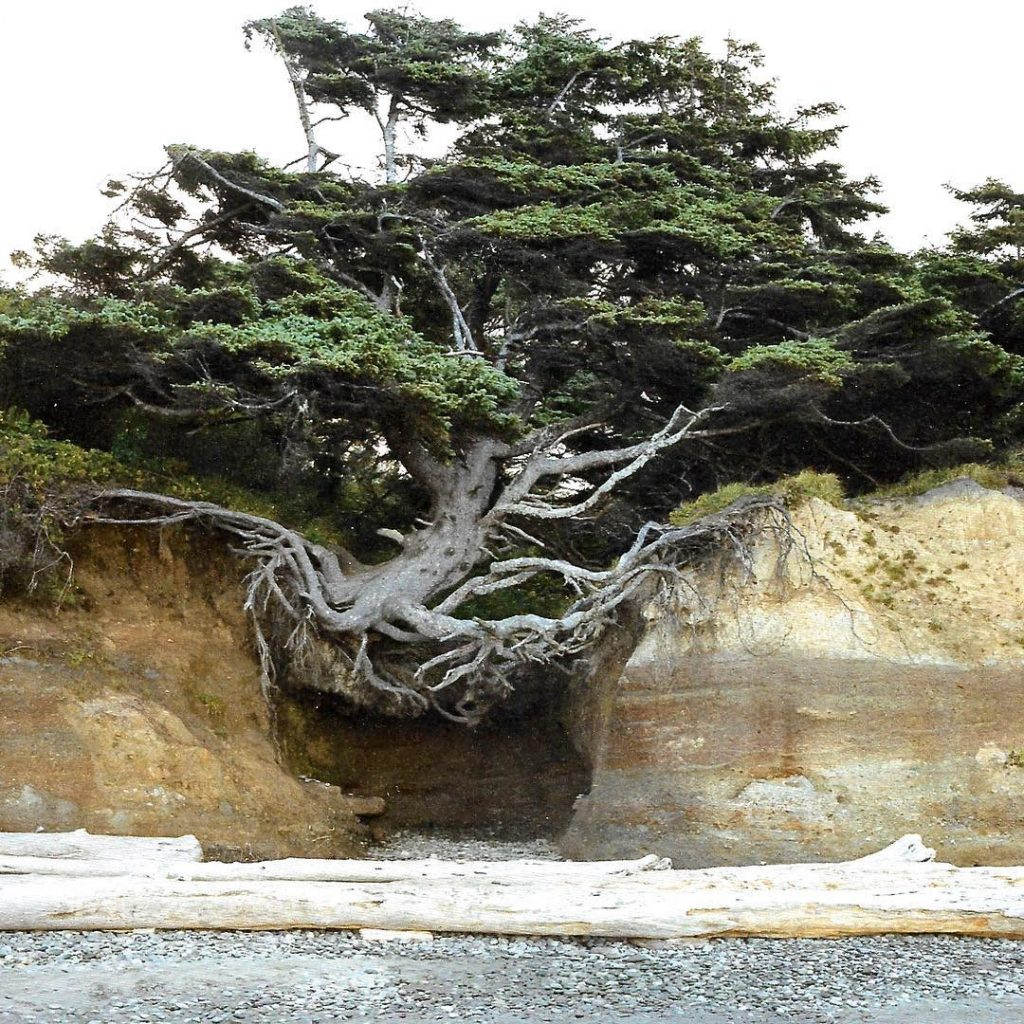 A tree straddles an ocean cliff on Kalaloch Beach inhellip