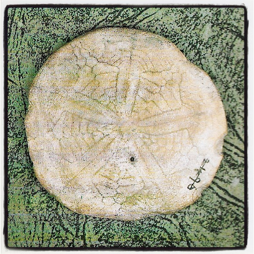 Darwins Sand Dollar Charles Darwin collected this fossil sand dollarhellip