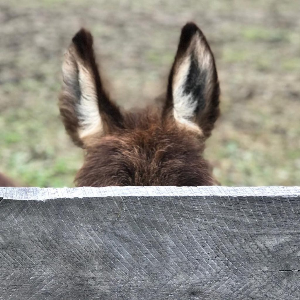 Camera Shy The cutest baby donkey called Star lives withhellip