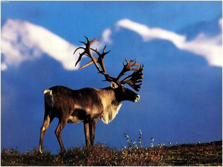 Caribou News