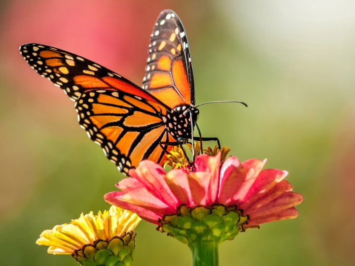 Monarch Butterfly News