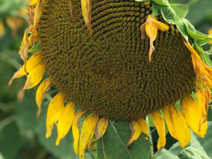 Priscilla Woolworth's Organic Seeds